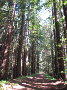 Redwood forest